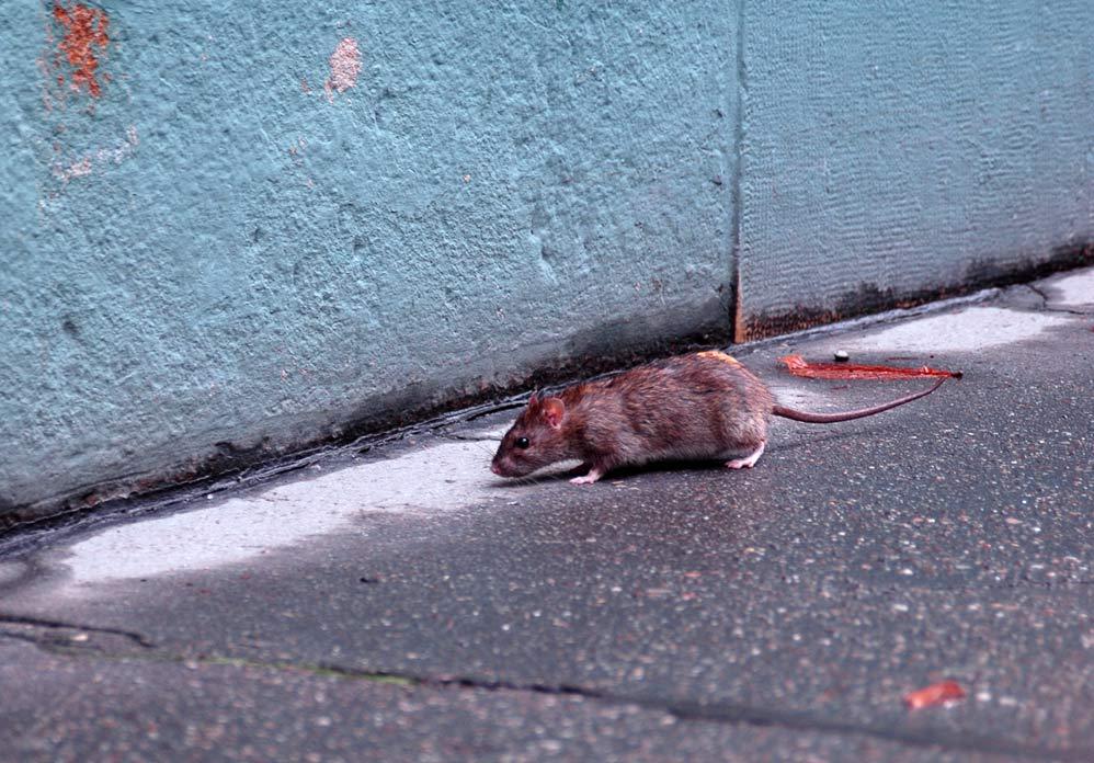 Wann kommen die Ratten aus ihren Löchern?