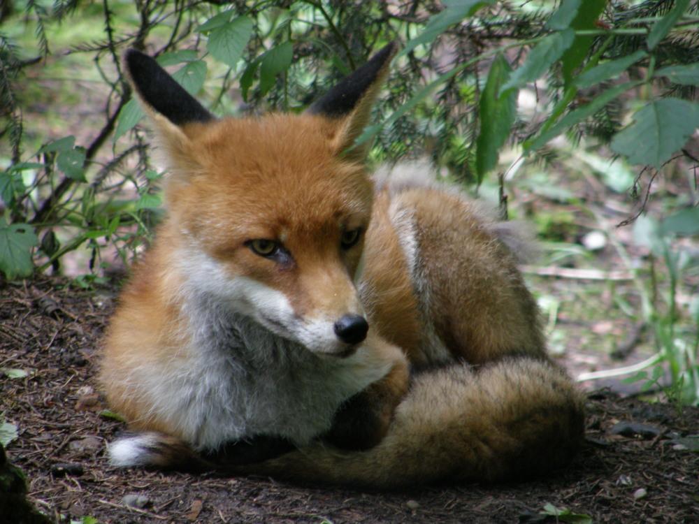 Wann kommt die Maus :-) Fuchs, Vulpes,vulpes