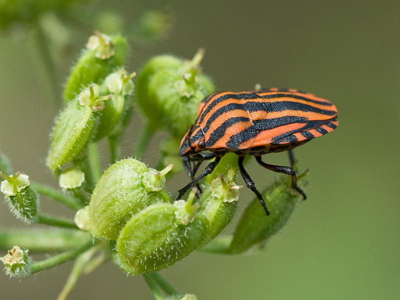 wanzen sind sch ne insekten foto bild tiere wildlife insekten bilder auf fotocommunity. Black Bedroom Furniture Sets. Home Design Ideas