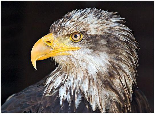 Wappenvogel