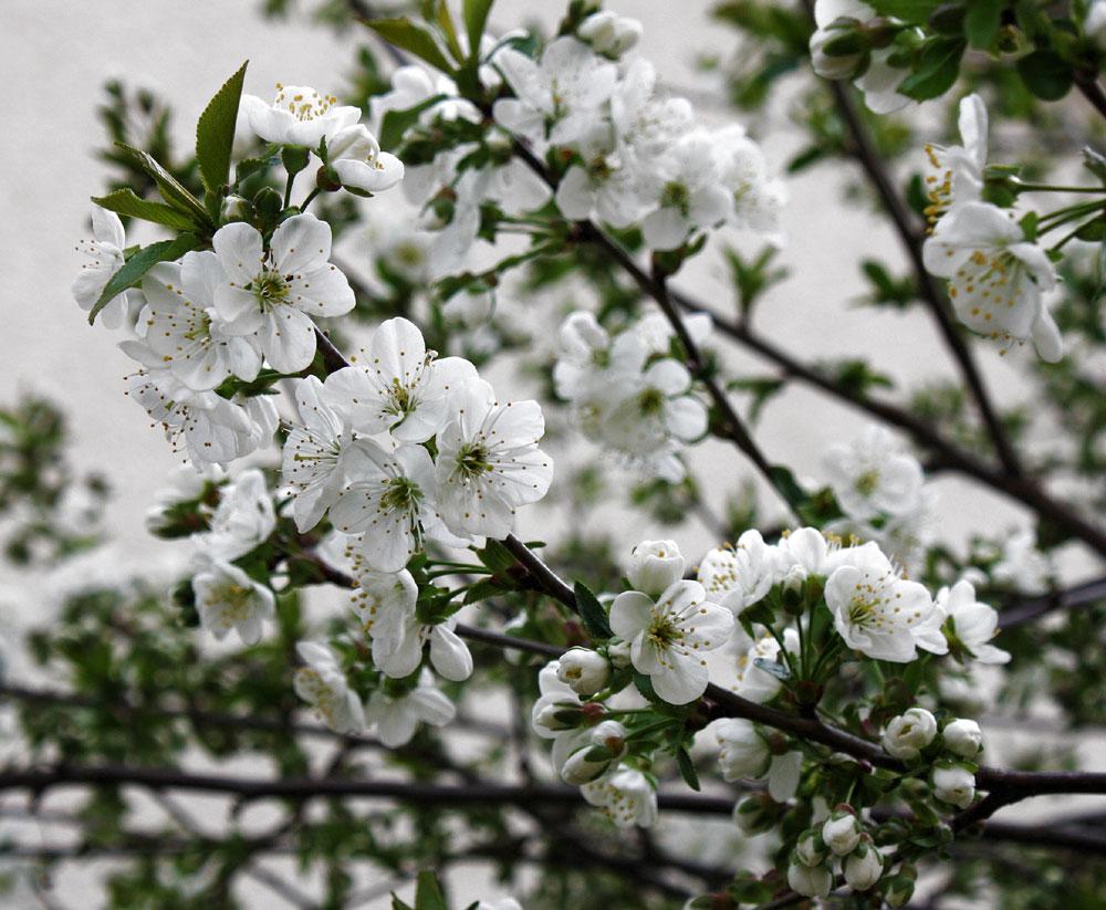 War einmal ein Kirschblütenbaum