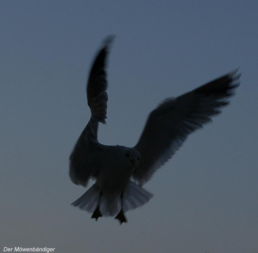 War Picasso´s Taube doch eine Möwe, Experten rätseln,Maler war ein schlechter Ornitologe