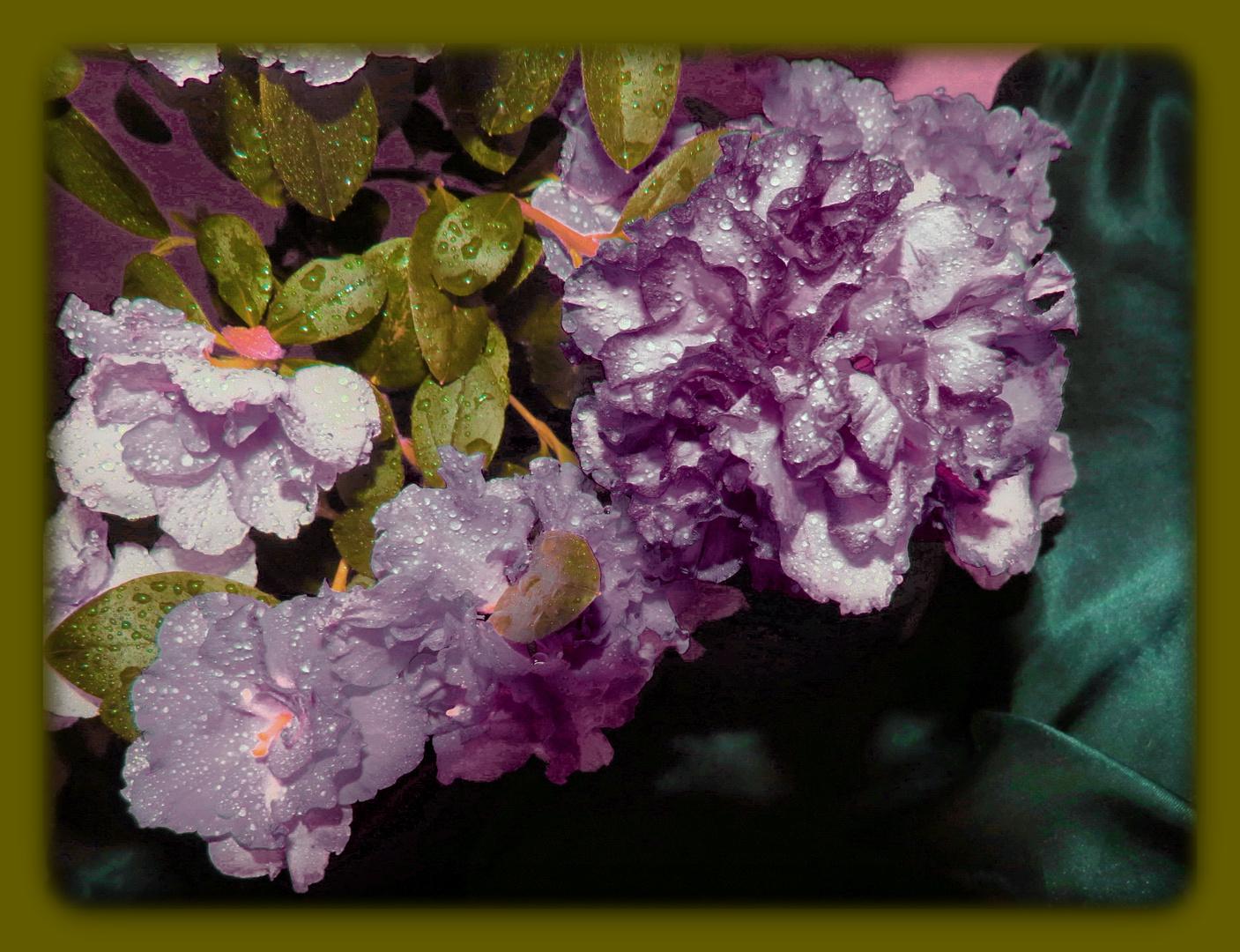 ...waren meine Ostern - Lieblinge, Rhododendron
