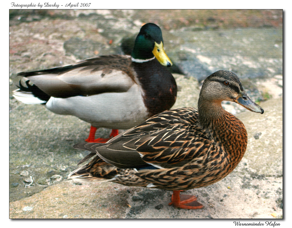 Warnemünder Hafen - Entenpaar