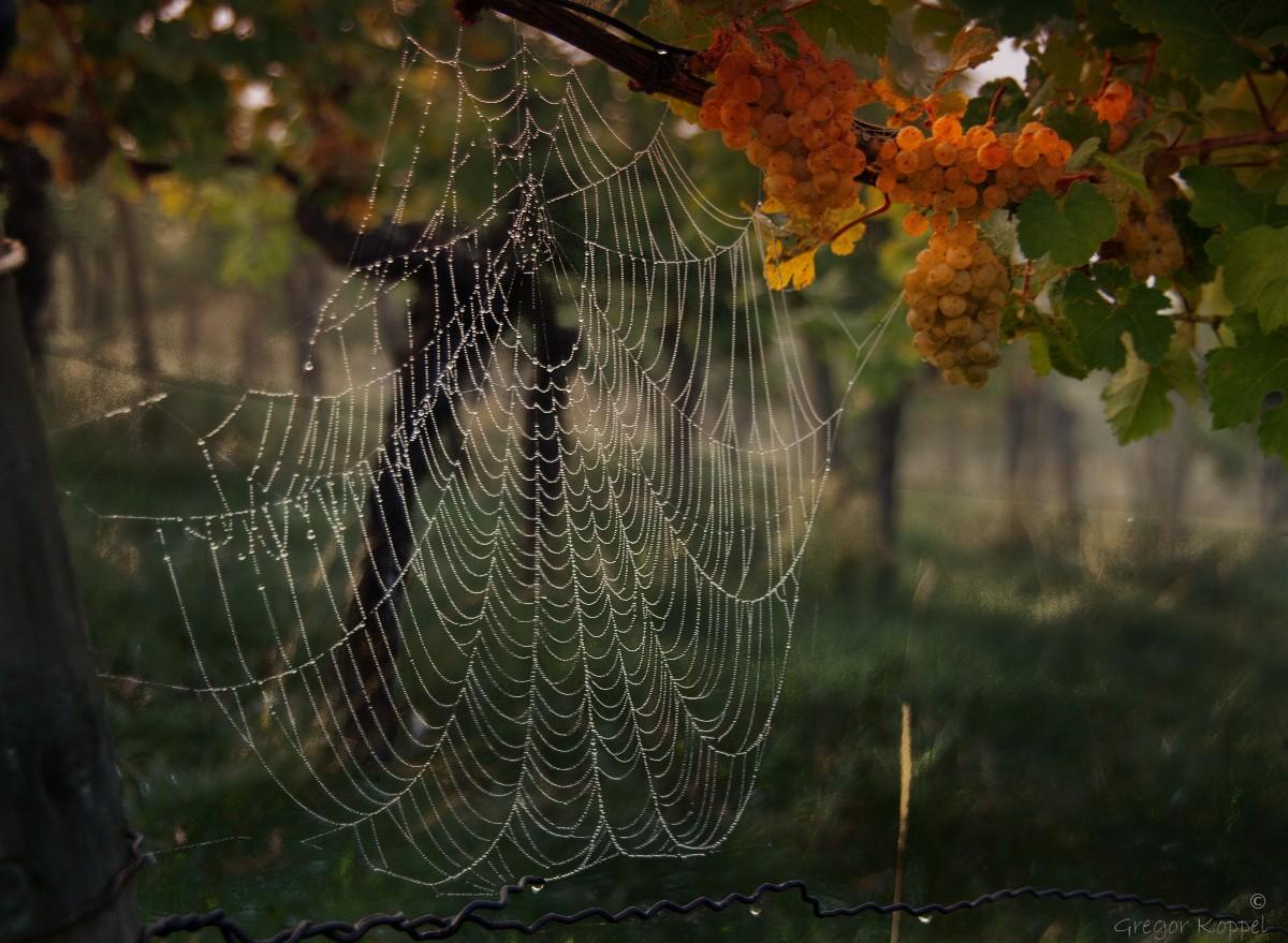 Warten auf die Weinlese 2012