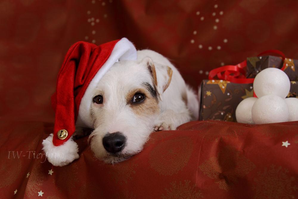 warten auf 39 s christkind foto bild tiere haustiere hunde bilder auf fotocommunity