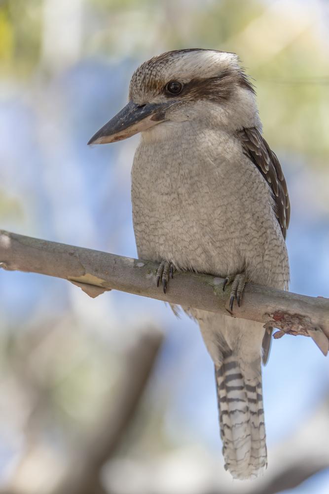 Wartender Kookaburra