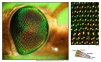 Warum bei lebenden Insekten nie ein vollkommen scharfes Foto vom Facettenauge entstehen kann