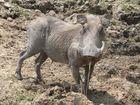 Warzenschwein im Südluangwa Nationalpark