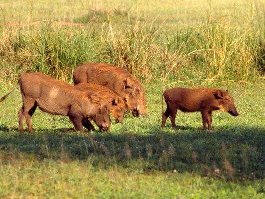 Warzenschweine im Murchison Falls National Park