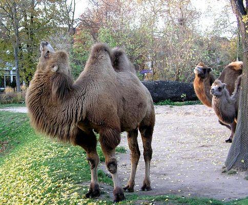 Was denken wohl die beiden Kamele hinter dem Baum?