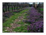 Was der Lavendel für die Provence, ...