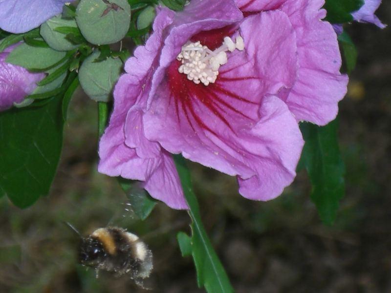 Was fliegt durch die Luft und macht muss, muss? Eine Biene die rückwärts fliegt!!!