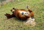 Was für ein feines Pferdeleben ! Da kann man sich vor Vergnügen nur so kusseln.