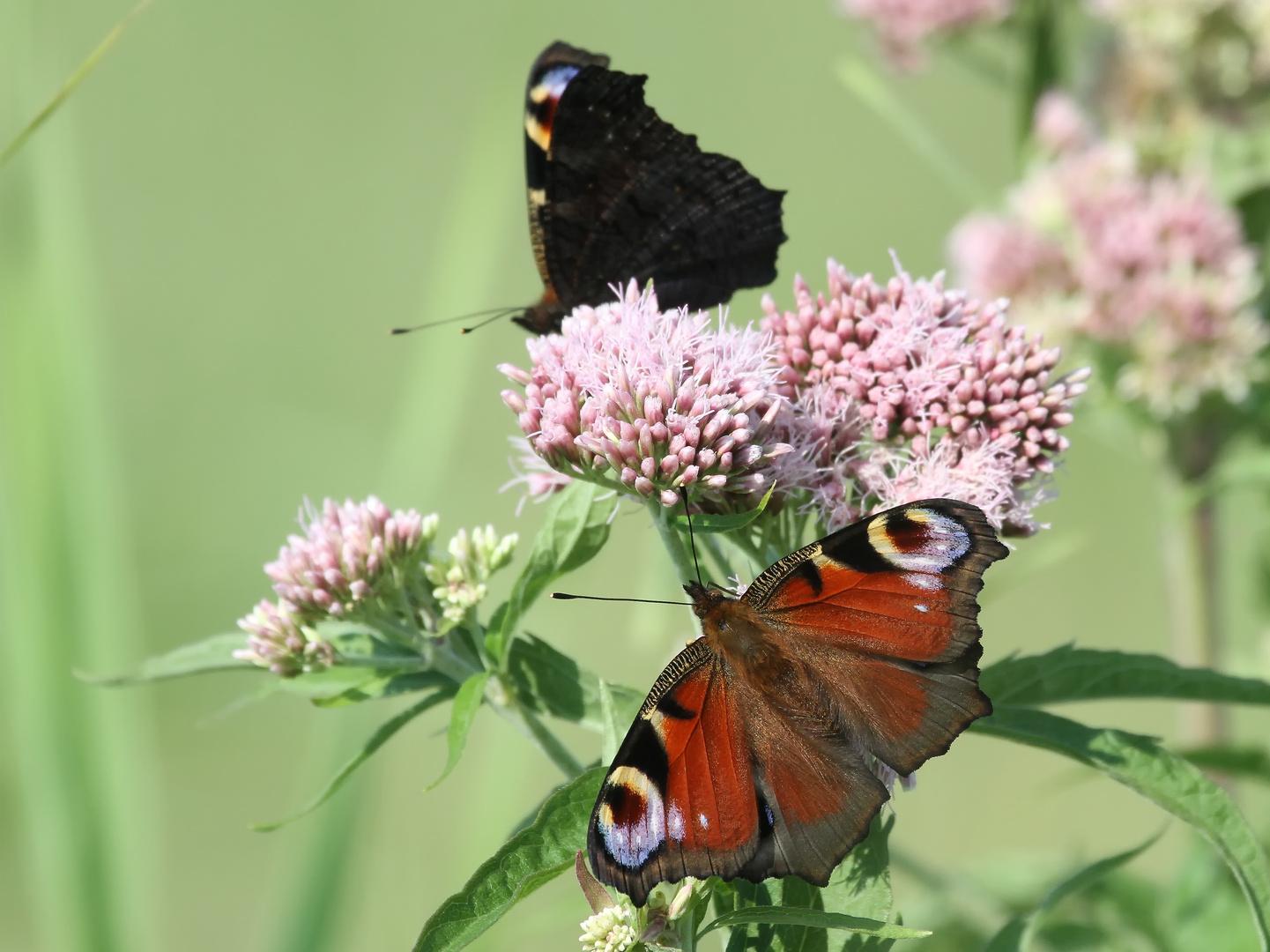 Was für ein Schmetterling ist das