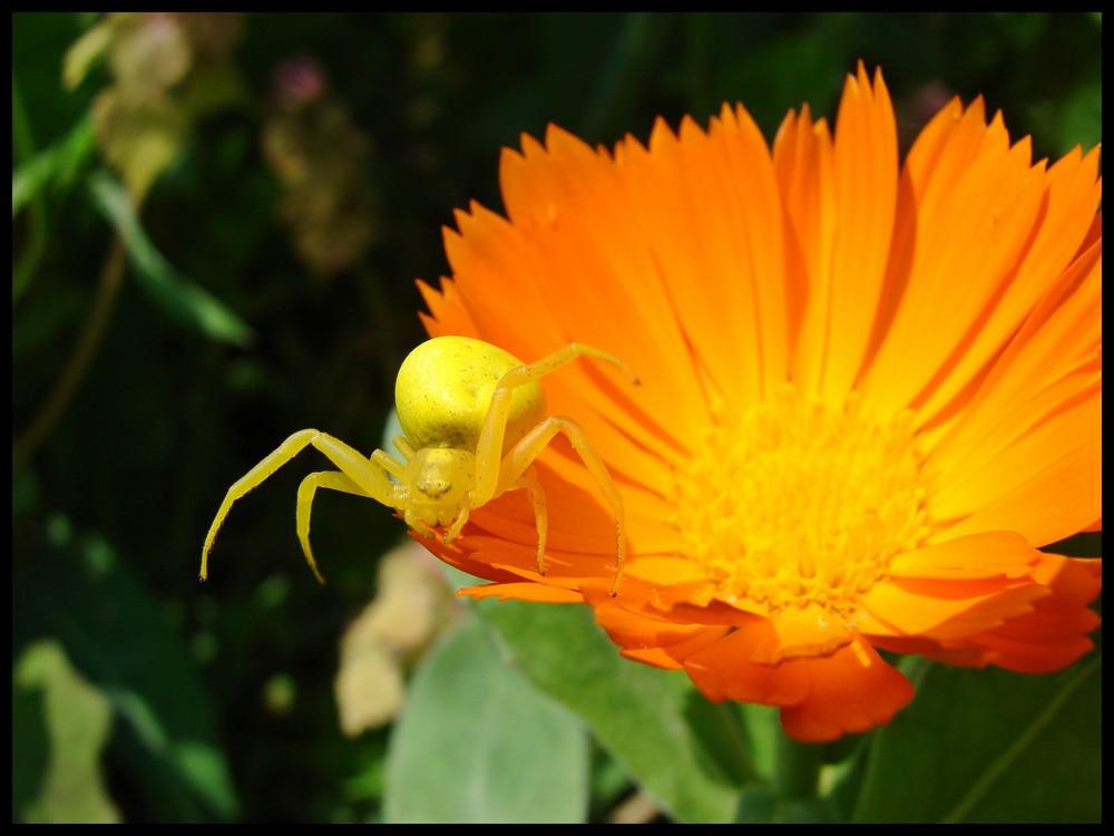 Was für 'ne gelbe Spinne???