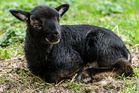 Was heißt hier Schwarzes Schaf?