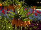 Was ist das? Blume nahe Forio Plattensee - Ungarn