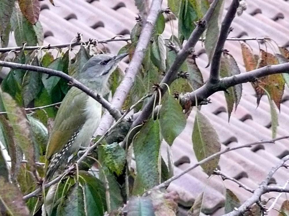 ????was ist das????? Grün- oder Grauspecht?????