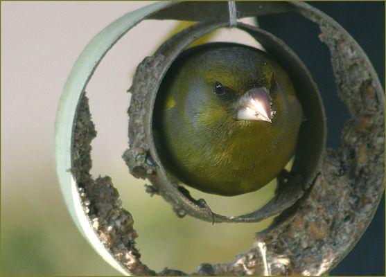 Was macht der Grünfink