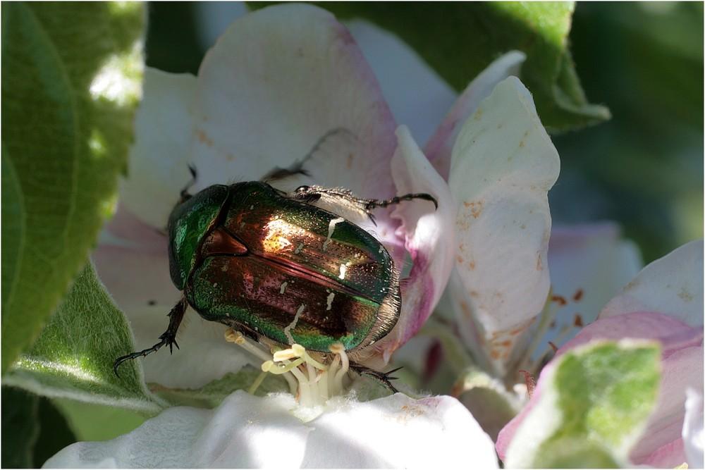 Was macht ein Rosenkäfer auf der Apfelblüte?