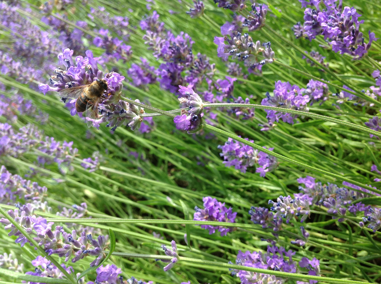 Was sich so im Lavendel tummelt
