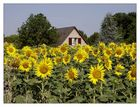 was wär der Sommer ohne Sonnenblumen