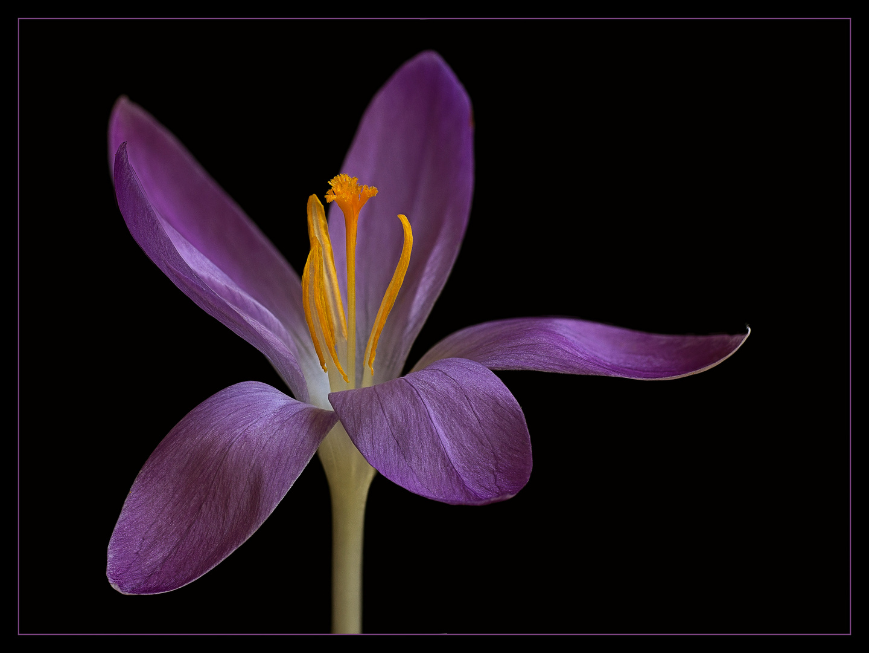 Was wäre der Frühling ohne die wundervollen Krokusse ?