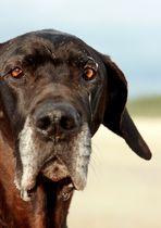 Was wäre eine Dogge ohne Sabber