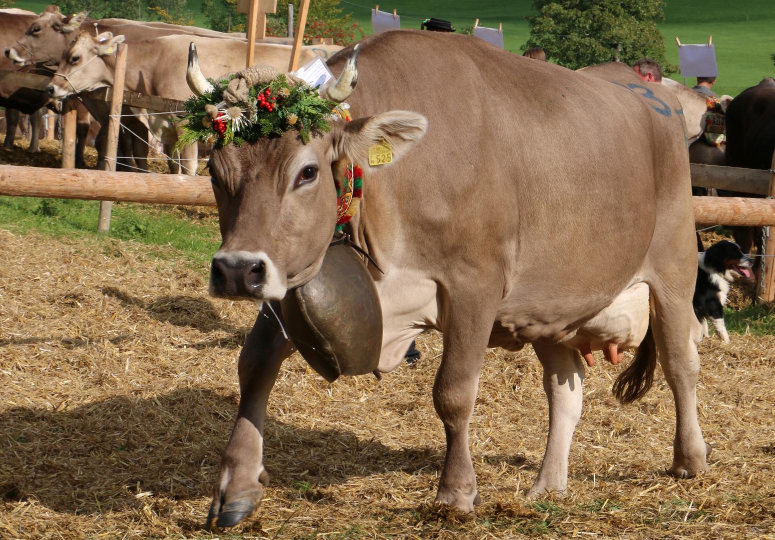 Was wäre eine Viehshow ohne Kuh ?