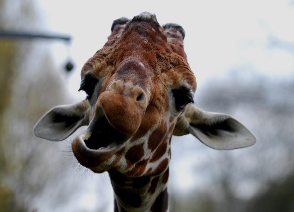 Was will uns diese Giraffe mitteilen?