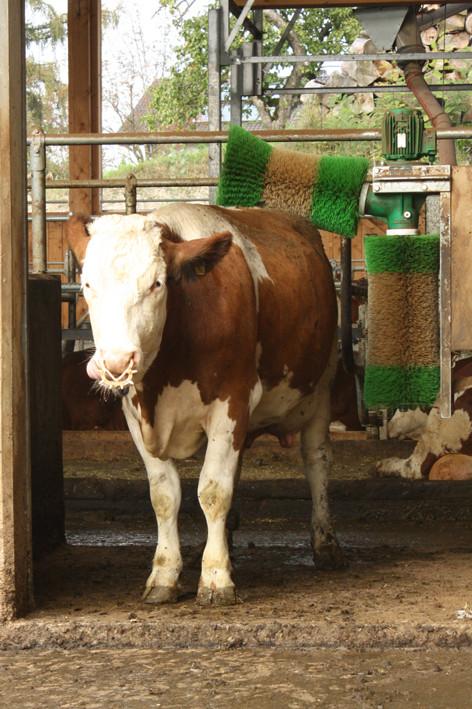 Waschanlage für kühe foto bild tiere haustiere