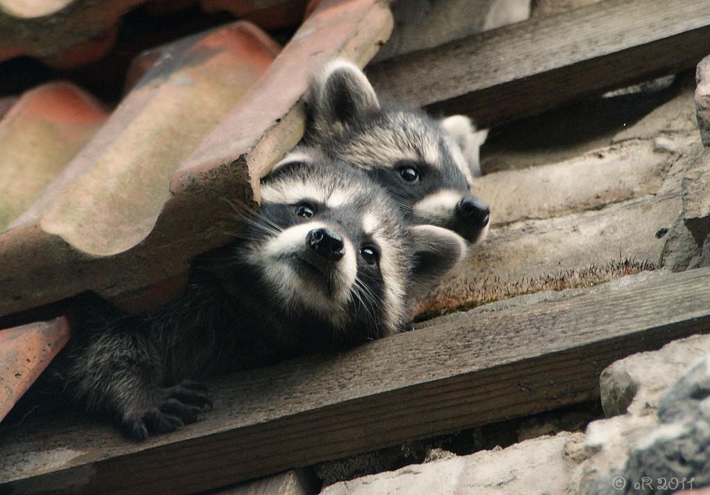 waschb r foto bild natur wildlife sonstige tiere wildlife bilder auf fotocommunity. Black Bedroom Furniture Sets. Home Design Ideas