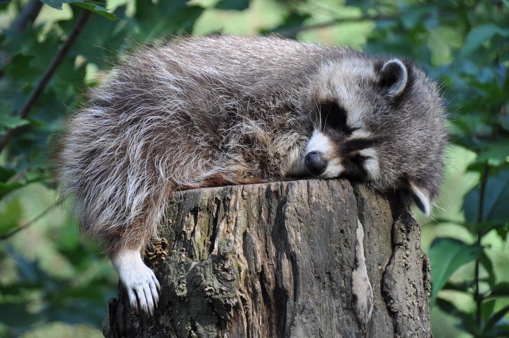 waschb r beim schlafen foto bild tiere zoo wildpark falknerei s ugetiere bilder auf. Black Bedroom Furniture Sets. Home Design Ideas