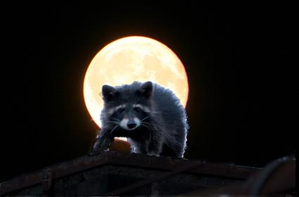 Waschbär im Mondschein