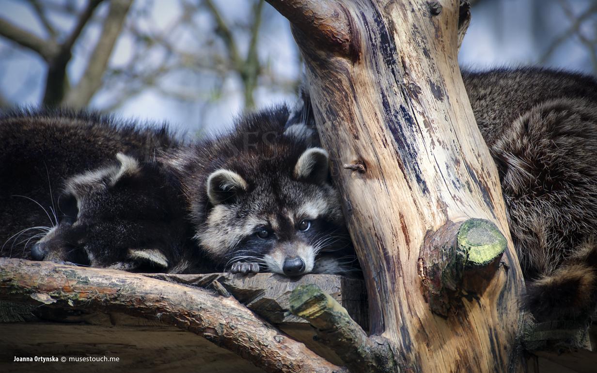 Waschbär im Tierpark Arth Goldau