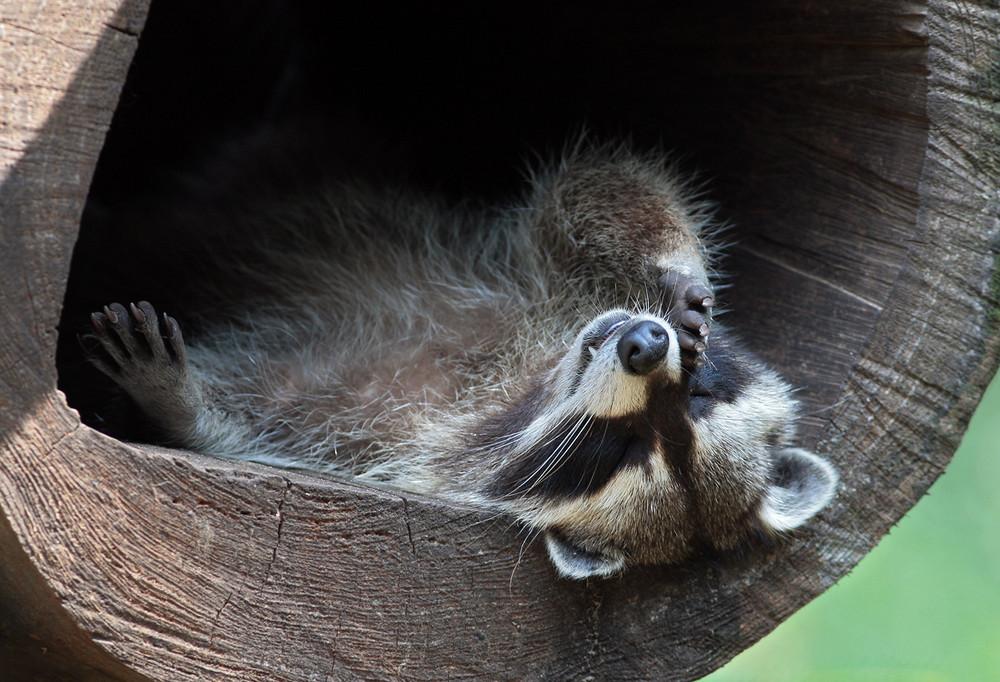 waschb r siesta foto bild tiere zoo wildpark falknerei s ugetiere bilder auf fotocommunity. Black Bedroom Furniture Sets. Home Design Ideas