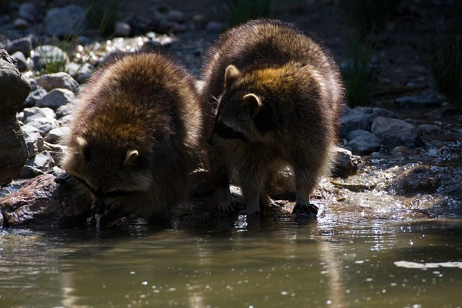 Waschbären auf Futtersuche
