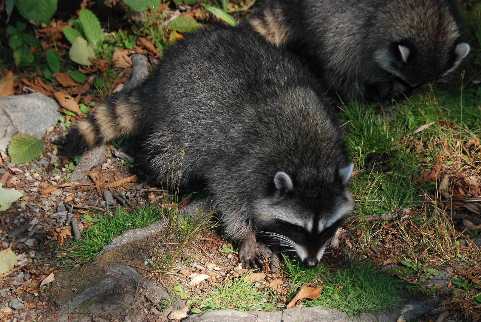 Waschbären im Stanley Park, Vancouver 2009