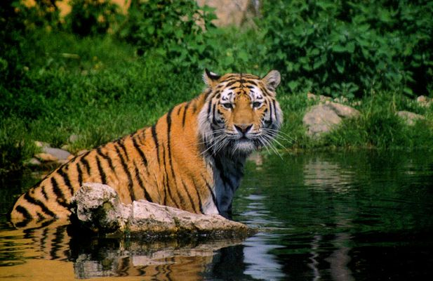 Waschechter Tiger