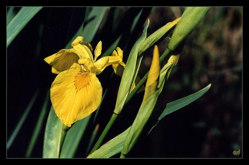 Waserlilie