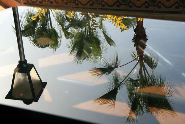 washingtonia palmen