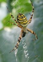 Wasp-Spider