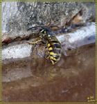 Wasp taking on fluids