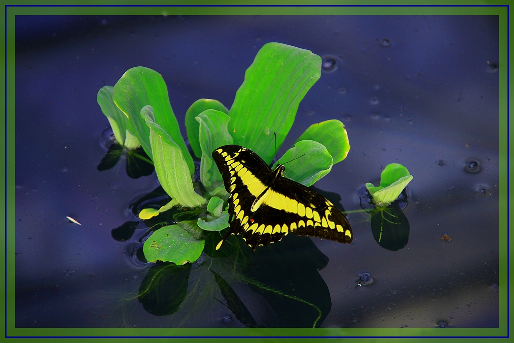 Wasser, Pflanze, Schmetterling.