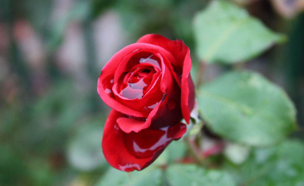 (Wasser) - Rose vom 09.10.2013