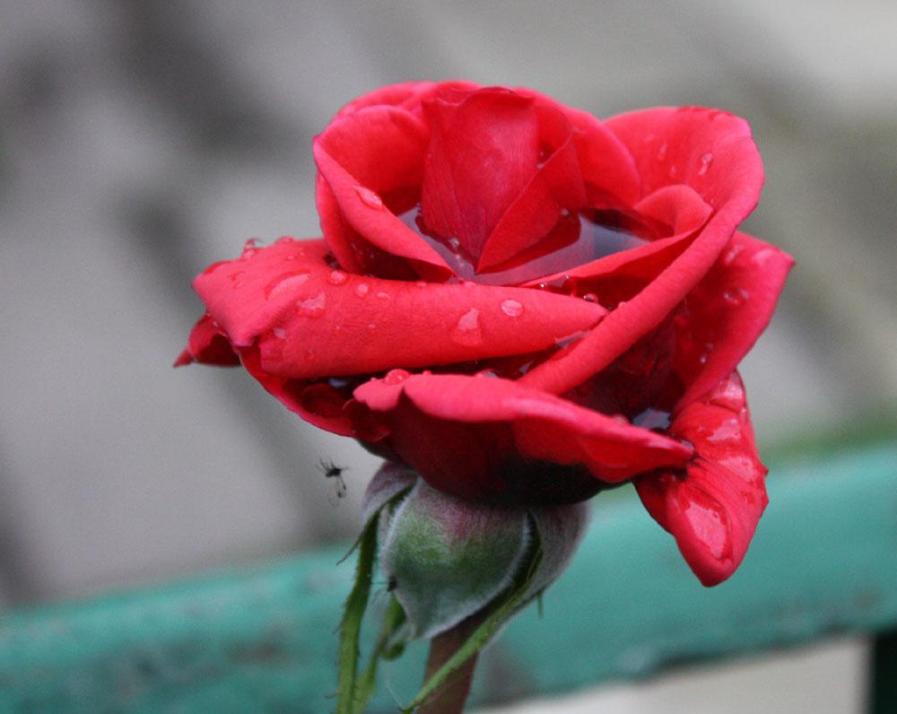 (Wasser) - Rose vom 10.10.2013