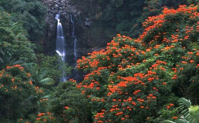 Wasser und African Tulip-Tree Feuer, Hamakua-Coast