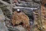 Wasseramsel - am Nest