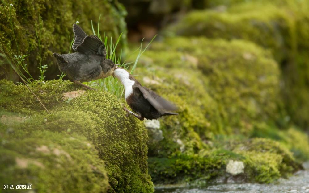 Wasseramsel füttert eben flügge gewordenes Jungtier